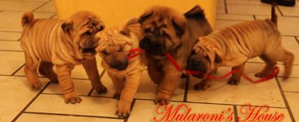 cuccioli shar-pei Mularoni's House - 2 mesi di età -