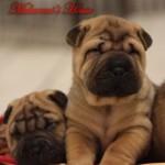 cuccioli-maschi-sharpei