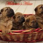 cuccioli-sharpei-mularoni's-house