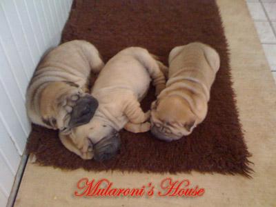 cuccioli-shar-pei-mularoni's-house