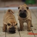 mularonis house shar-pei cuccioli