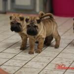 shar-pei cuccioli mularonis house