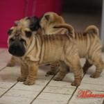cuccioli mularonis house shar-pei