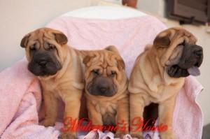 shar.pei cuccioli Nati il 5 giugno 2012 da Ch.Bingtang Mularoni's House e Ch.Stoneys true Mark of the League