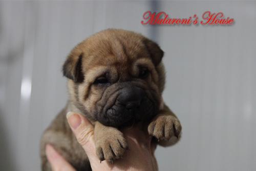 maschio cucciolo shar-pei 20 giorni di età